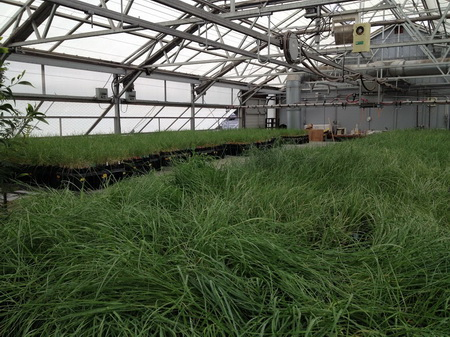 Photo of U.S. Forest Service scientists use a greenhouse in Washington State to grow bluebunch wheatgrass as part of their current reciprocal transplant project. This project is one of the largest and most intensive projects of its kind ever attempted.