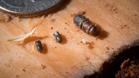 Photo of Pine bark (center) and other beetles found in a dead Ponderosa pine in the U.S. Department of Agriculture (USDA) Forest Service (FS) Sequoia National Forest are displayed on the inner side of a piece of outer bark that Entomologist Beverly Bulaon removed in search for pine bark beetles burrowed in dead conifers, near Posey, CA, on August 24, 2016.