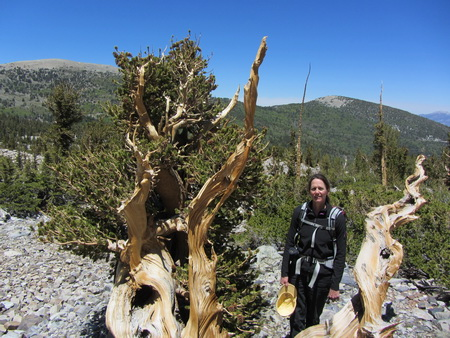 Scientist Barbara Bentz stands next to a Great Basin bristlecone pine, which are some of the oldest trees in the west and are highly resistant to mountain pine beetle attacks.