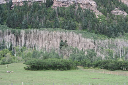 Photo of Aspen stands affected by drought in southern Colorado.