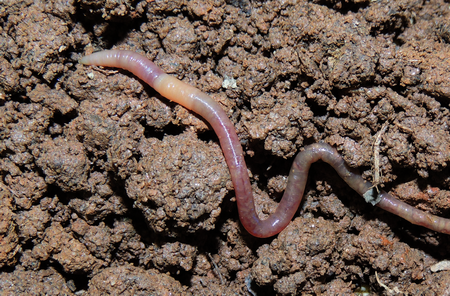 Photo of Soil fauna like this Diplocardia sp. are important are important for soil processes like decomposition and should be included in such research.