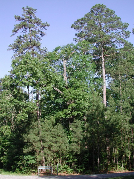 Photo of Dominant shortleaf pine (left) and loblolly pine (right) at Crossett Experimental Forest, Arkansas.