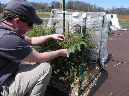 Photo of Robert Jetton of North Carolina State University experimentally infests potted hemlocks with hemlock woolly adelgids to examine the effects of shade on both the seedlings and the insects.