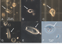 Photo of Phase-contrast light microscopy of some protists found in the subterranean termite, Reticulitermes virginicus.  A) Pyrsonympha minor, B) Spirotrichonympha flagellata, C) Trichonympha burlesquei, D) Holomastigotes elongatum, E) Trichonympha agilis, F) Monocercomonas species.  Scale bars are indicated for A and F, while B-E use the same scale bar as in A.