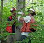 Hiawatha National Forest personnel work together to set up a test for scale-resistance on a beech tree as part of a training workshop run by FS researchers.  Genetic markers identified in recent studies may allow resistant trees to be selected without using the type of testing shown here, which can take up to a year.