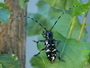 Photo of Asian longhorned beetle male on a poplar leaf.