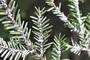 Photo of A silver fly on eastern hemlock infested with hemlock woolly adelgid.