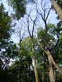 Dead ash trees in an urban forest create a gap in the canopy, allowing sunlight to filter down to other trees and plants.