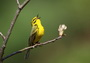 Photo of Prairie Warbler.
