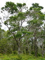 Photo of Koa tree along Saddle Road on east side of the Big Island of Hawaii.