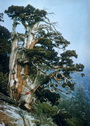 Photo of It is common to find mature whitebark pine trees well over 400 years of age as seen in this image, especially on harsh growing sites.