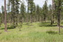 Photo of Desired ponderosa pine forest stand structure.