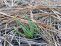 Photo of Newly germinated longleaf pine seedling.