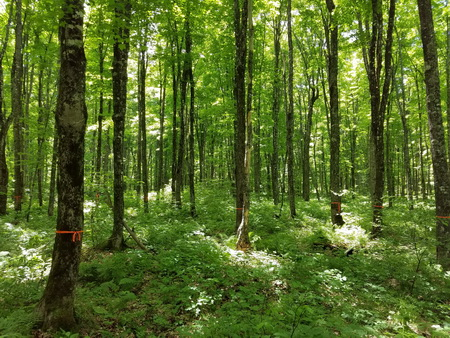 A northern hardwood stand in the Dukes Experimental Forest, Hiawatha National Forest, Michigan. USDA Forest Service