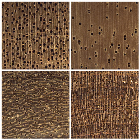 Photo of (A) A representation of a deep neural network: the input to the neural network is an image of the transverse section of wood and the output is a confidence score over the woods on which the model was trained. (B) Conceptualizes the similarity of woods for a wood anatomist, showing which species are most likely to be confused with each other. (C) The results of the predictions of a model – the correct identification is shown in the rows, and the values in the cells are the proportion of all the images classified as the species listed in the columns, with the diagonal showing correct predictions.