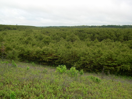 Photo of Young, dense jack pine forests used for nesting by Kirtland's Warblers