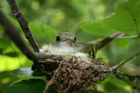 Photo of An Acadian flycatcher sitting on its nest.  We found that Acadian flycathcer nests failed more oftent at warmer temperatures due to increased nest predation.