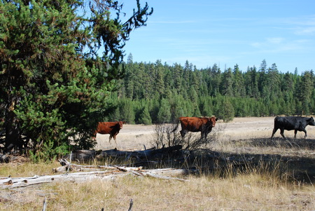 Photo of Cattle on the Starkey Experimental Forest and Range, Oregon.