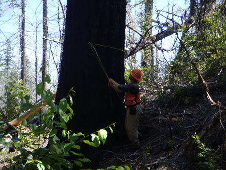 Photo of A technician with the USDA Forest Service Forest Inventory and Analysis Program (FIA) measures the diameter of a tree. FIA field data is key to calculating the amount of carbon stored in California's forests.