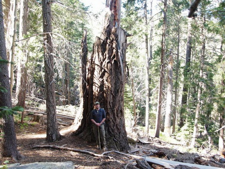 Photo of This large Douglas-fir died in 2012 and is surrounded by many smaller Douglas-fir, white fir, and Southwestern white pine that recruited during fire exclusion. Stand density in mesic mixed conifer forests increased during fire exclusion.