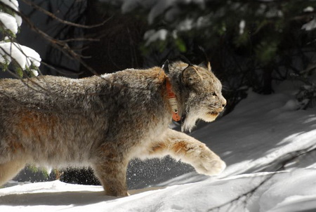 Photo of GPS technology was instrumental in tracking lynx for this study.