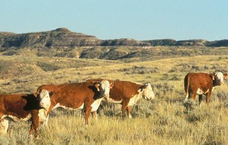 Photo of Cattle on western rangelands