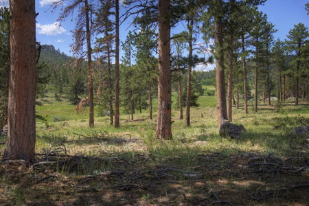 Photo of Desired forest condition for ponderosa pine forests in the Colorado Front Range.
