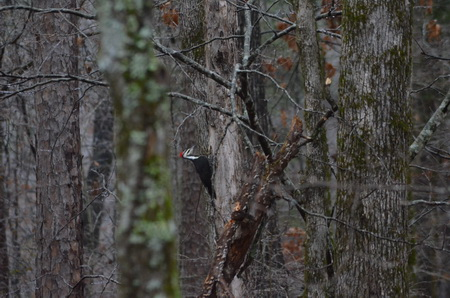 Photo of SRS_2018_Forest Birds Benefit from a Range.jpg   A pileated woodpecker foraging in a mature, unlogged forest.