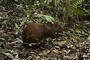 Photo of The Central American Agouti (Dasyprocta punctata), a game animal highly prized for its meat, and the Russet-naped Wood-Rail (Aramides albiventris), a species of high conservation concern, were captured on film using a remote, infrared wildlife camera trap placed in the understory of the Nicaraguan government's Datanlí-El Diablo Nature Reserve in the Department of Jinotega in the country's Northern Highlands Ecoregion