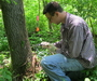 Photo of Researcher injecting an ash tree with insecticide.