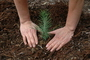 Close-up view of hands surrounding a freshly-planted pine tree seedling