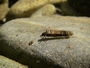 Photo of A caddisfly—freshwater prey for Chinook salmon.