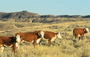 Photo of Cattle on western rangelands