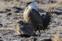Photo of ?Male and female greater sage-grouse converge on sagebrush mating areas every year.