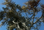 Photo of Monterey cypress is among the numerous rare and evolutionarily distinct tree species that grow in California.