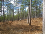 Photo of A mature shortleaf pine-bluestem grass woodland maintained using thinning and cyclic prescribed fire. The banded tree contains an active nest for the endangered red-cockaded woodpecker. Ouachita National Forest, Scott County, Arkansas.