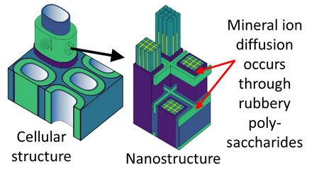 Schematic illustrating diffusion pathways in wood cell wall nanostructure. USDA Forest Service.