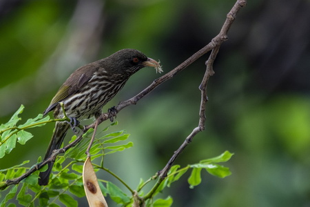 Photo of Hispaniola's endemic Palmchat preying on an insect in an introduced, nitrogen-fixing leguminous species (Albizia lebbeck).