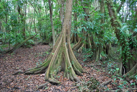 Photo of Forested coastal wetland dominated by Pterocarpus officinalis, in the north coast of Puerto Rico.