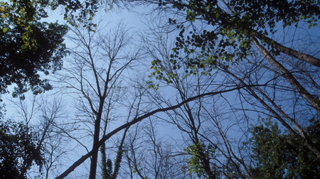 Photo of Ash trees.