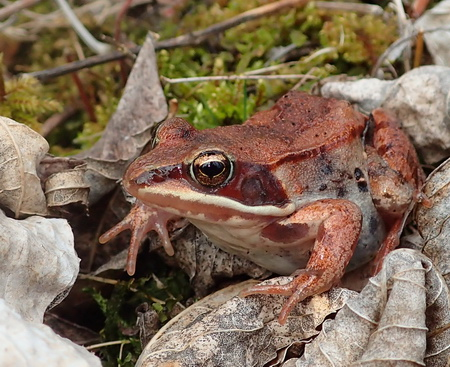 Photo of A wood frog sitting within decaying black ash leaves in a wetland forest in northern Minnesota on the Chippewa National Forest.