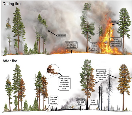 Graphic showing types of heat that may be transferred to living tissues of trees during fire (top panel) and examples of the resulting injuries to different parts of the trees after fire.