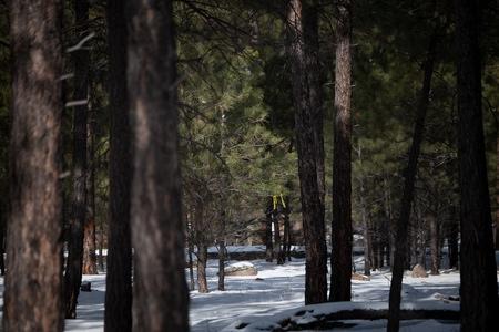 Ponderosa pine stand.