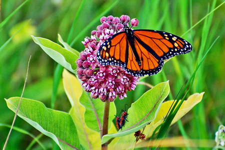 Photo of Milkweed plants are an important host species for both monarch larvae and adult butterflies.