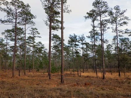 Photo of A partially cut stand of longleaf pine on the Francis Marion NF in South Carolina. Stands of longleaf pine mixed with other species can be converted to longleaf dominance by harvesting the non-longleaf component.