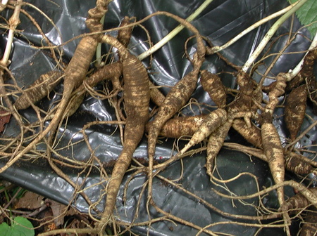 Photo of Recently harvested wild American ginseng (Panax ginseng) roots that will be dried and sold, likely for export to Asia.