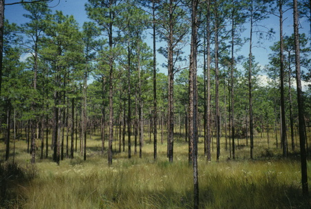 Photo of Longleaf pine ecosystem restored through frequent application of prescribed fire to maintain native plants and discourage biotic invaders.