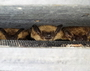 Photo of Maternity colony of female big brown bats (Eptesicus fuscus) roosting in a manmade bat house.
