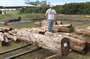 Photo of Ohi'a logs obtained from rapid Ohi'a death-killed trees and used in vacuum steam treatment trials in Hilo, Hawaii.