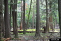 Photo of Old growth stand of eastern white pine, eastern hemlock, and northern hardwoods in Michigan.